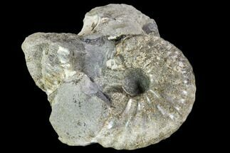 Hoploscaphities nicolletii - Fossils For Sale - #110583