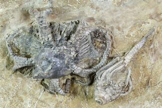 Two Fossil Crinoids And Gastropod - Crawfordsville, Indiana For Sale, #110564