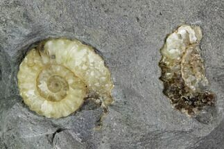 Buy Agatized Fossil Ammonites (Promicroceras) - Lyme Regis - #110722