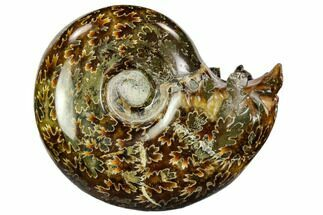 "2.7"" Polished, Agatized Ammonite (Cleoniceras) - Madagascar For Sale, #110528"