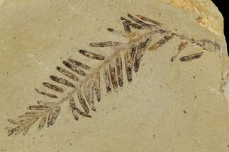 Metasequoia (Dawn Redwood) - Fossils For Sale - #110865