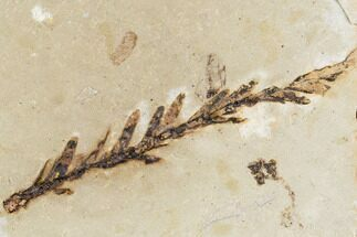 "Buy 2.1"" Metasequoia Fossil - Cache Creek, BC - #110899"