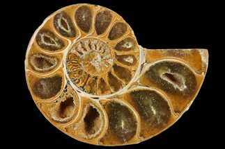Phylloceratida - Ptychophylloceras? - Fossils For Sale - #110745