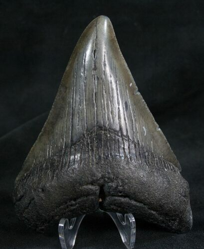 "3.66"" Megalodon Tooth - Georgia River Find"