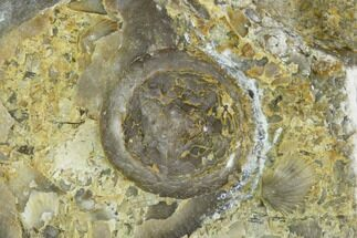 ".2"" Edrioasteroid On Brachiopod Shell- Ontario For Sale, #110540"
