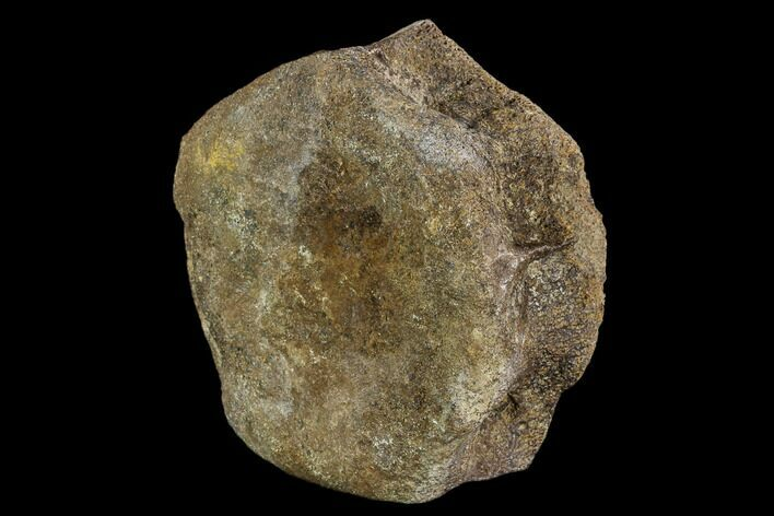 "4.1"" Hadrosaur Vertebra Centrum - Alberta (Disposition #000024-25)"