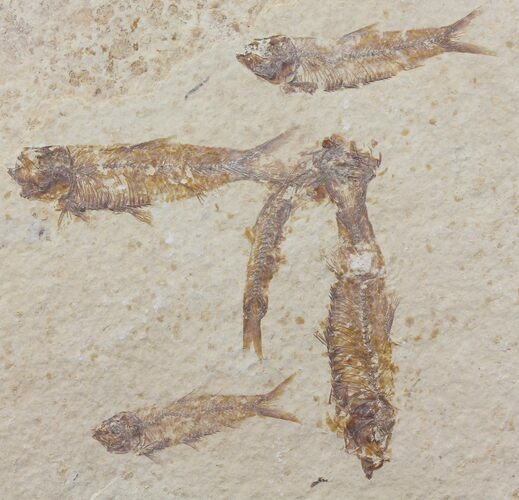 "5.2"" Fossil Fish (Knightia) Plate - Wyoming"
