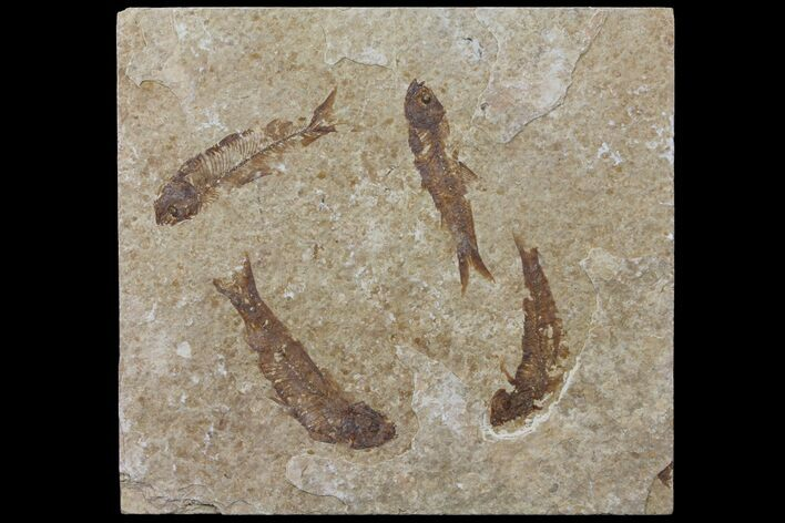 Four Fossil Fish (Knightia) Plate- Wyoming