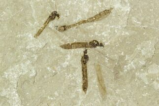 Fossil Crane Fly (Pronophlebia) Cluster - Green River Formation, Utah For Sale, #111386