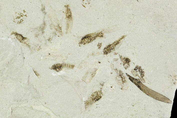 Fossil Willow,  Mimosites, And Crickets- Green River Formation, Utah