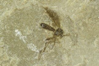 Diptera - Fossils For Sale - #111408