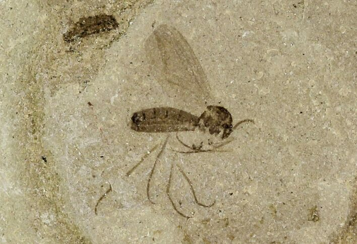 ".2"" Fossil Fly (Diptera) - Green River Formation, Utah"