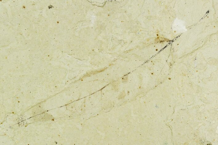 "2.9"" Fossil Leaf (Salix)- Green River Formation, Utah"