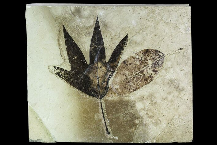 Two Fossil Leaves (Sycamore and Ash) - Green River Formation, Utah