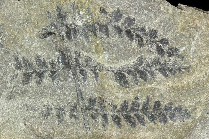 Carboniferous Fossil Ferns (Sphenopteris) - Poland