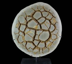 "Buy 16.2"" Cut Septarian Nodule With Pyrite With Stand - Spectacular! - #95200"