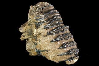 "5.6"" Adult M1 Southern Mammoth Molar - Hungary For Sale, #111830"