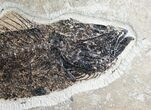 "13"" Mioplosus Fossil Fish - Ready To Hang - #7893-2"