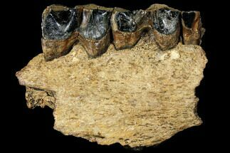 Coelodonta antiquitatis - Fossils For Sale - #111879