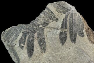 "Buy 3.6"" Pennsylvanian Fossil Fern (Alethopteris) Plate - Kentucky - #112666"