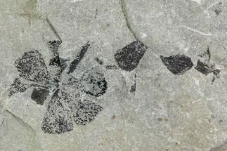 Sphenophyllum sp. - Fossils For Sale - #112896