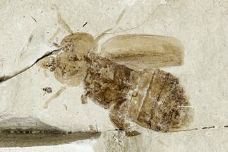 Coleoptera - Fossils For Sale - #109122