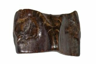 Edmontosaurus annectens - Fossils For Sale - #110994