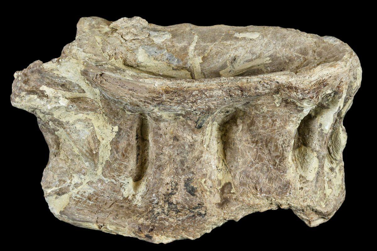 "2.9"" cretaceous Fossil Fish (Xiphactinus) Vertebra ..."