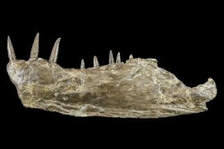 "12.7"" Cretaceous Monster Fish (Xiphactinus) Jaw - Kansas For Sale, #113105"