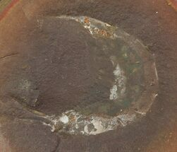 "Buy 1.1"" Fossil Shrimp (Kallidecthes) Nodule (Pos/Neg) - Mazon Creek - #113182"