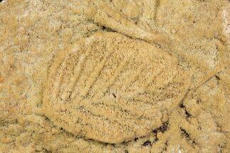 Buy Fossil Leaves Preserved In Travertine - Austria - #113209