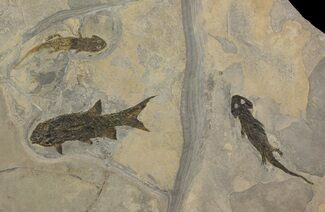 Sclerocephalus sp., Paramblypterus sp. - Fossils For Sale - #113337