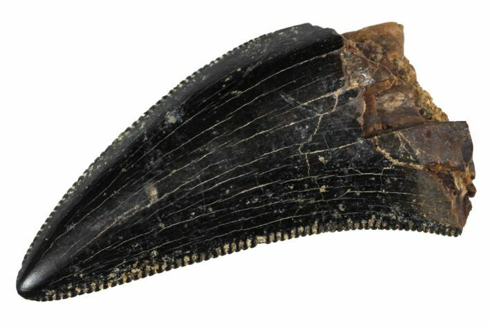 "Serrated, .73"" Small Theropod (Raptor) Tooth - Montana"