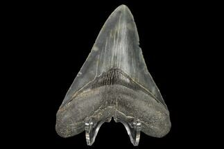 "Buy Serrated, 4.23"" Fossil Megalodon Tooth - South Carolina - #114505"