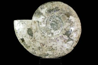 "Buy Massive, 22.5"" Ammonite Fossil With Stand  - #115057"