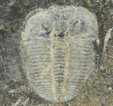 ".4"" Aulacopleura Trilobite - Czech Republic For Sale, #115238"