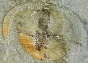 Lloydolithus lloydi - Fossils For Sale - #115236