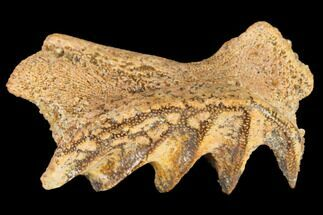 Ceratodus sp.  - Fossils For Sale - #115266