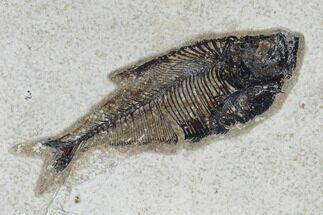 "4.7"" Fossil Fish (Diplomystus) - Green River Formation For Sale, #115580"