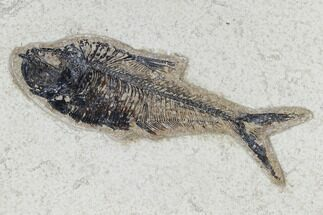 "5.4"" Fossil Fish (Diplomystus) - Green River Formation For Sale, #115583"