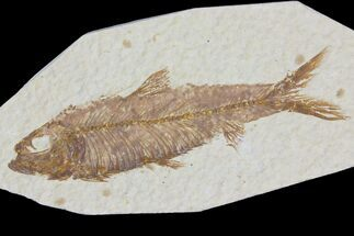 "Buy 3.15"" Detailed Fossil Fish (Knightia) - Wyoming - #115108"