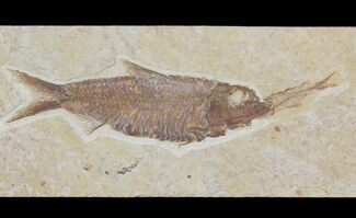 "3.45"" Detailed Fossil Fish (Knightia) - Wyoming For Sale, #115109"