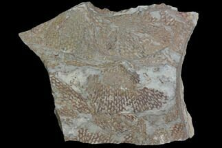 Araneograptus murrayi  - Fossils For Sale - #116748
