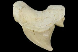 "Buy 2.03"" Pathological Otodus Shark Tooth - Morocco - #116713"