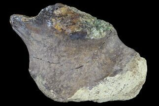 "Buy 4.4"" Unidentified Dinosaur Bone Section - Aguja Formation, Texas - #116728"