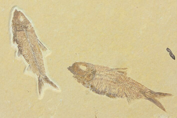 Two Beautiful Fossil Fish (Knightia) - Wyoming