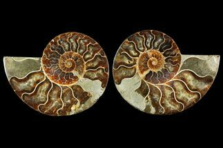 Cleoniceras - Fossils For Sale - #114870