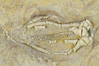 Oklahomacrinus sp. - Fossils For Sale - #114390