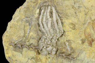 "Buy 1.5"" Fossil Crinoid And Bryozoan - Anna, Illinois - #114370"