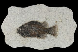 "5.1"" Fossil Fish (Cockerellites) - Green River Formation For Sale, #114293"
